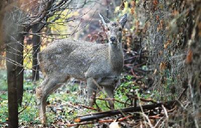 龍泉湖公園來了只可愛的梅花鹿