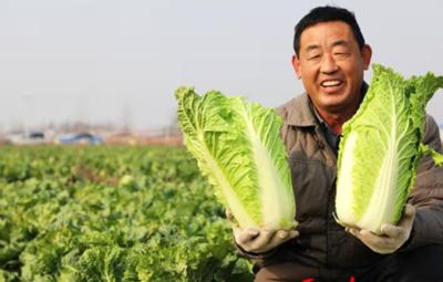 河北平鄉:大白菜豐收農民樂