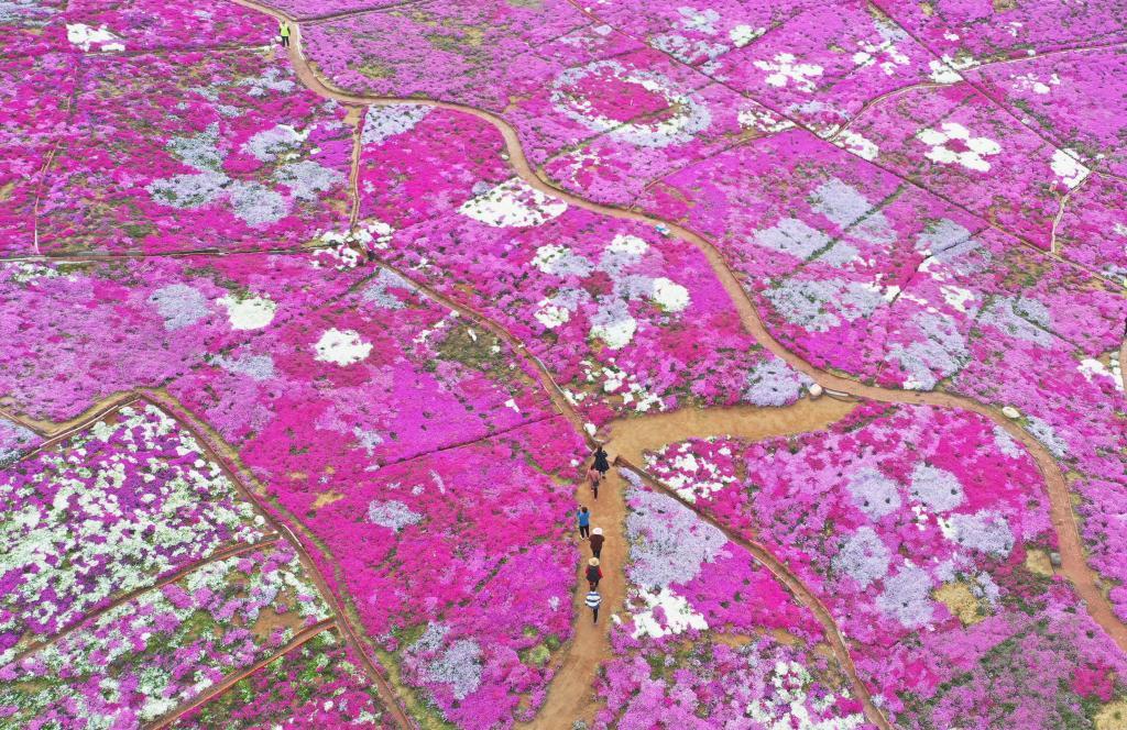 河北遷西:芝櫻花海醉遊客