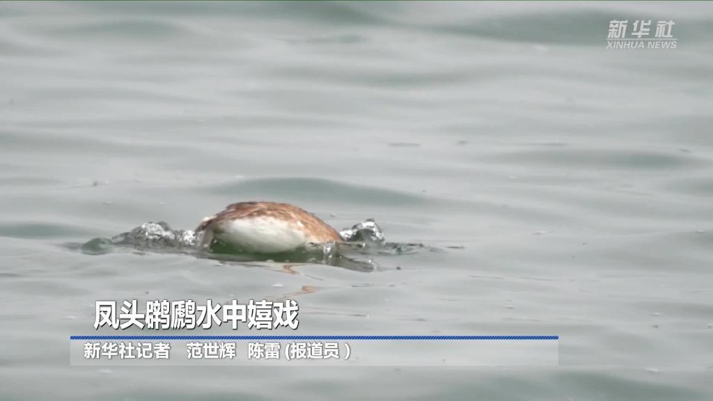 鳳頭䴙䴘水中嬉戲