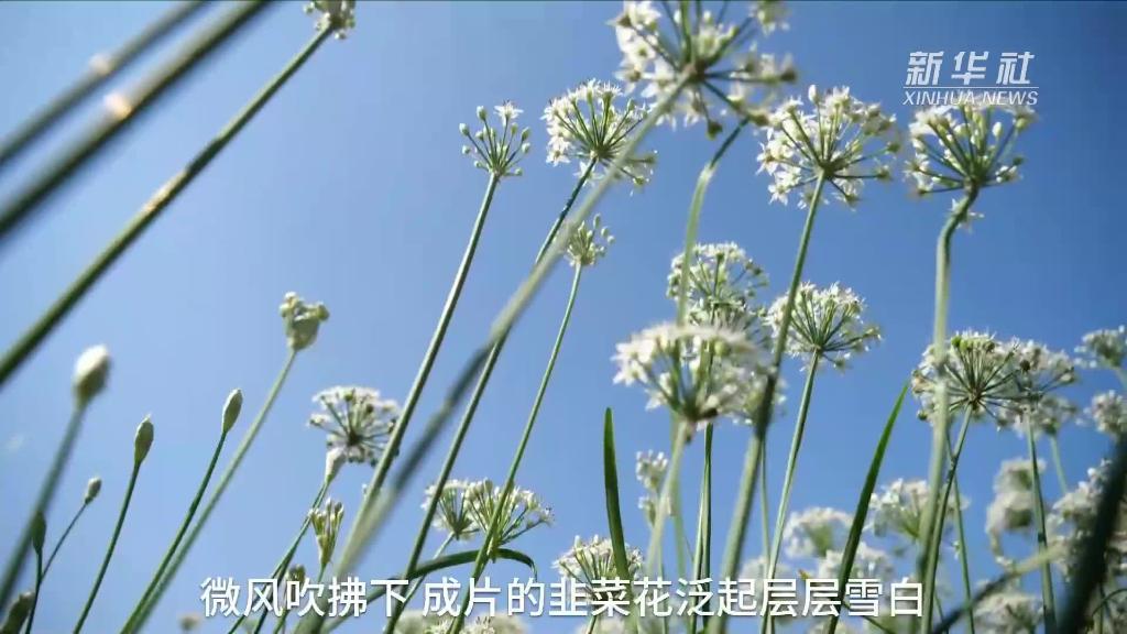 河北辛集:韭花香 呈現一派豐收景象