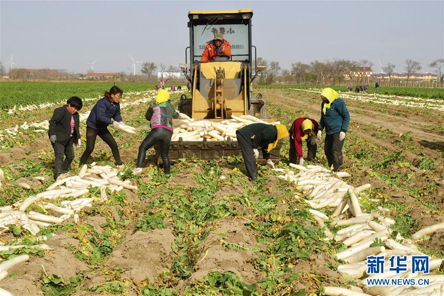 (經濟)(1)河北黃驊:蘿卜出口助增收