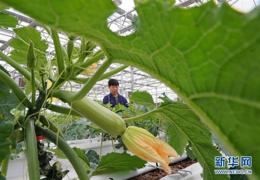(經濟)(1)河北肅寧:發展現代農業助力鄉村振興
