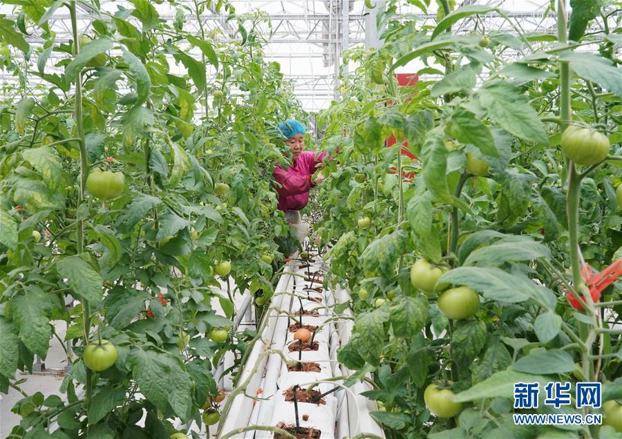 (經濟)(2)河北肅寧:發展現代農業助力鄉村振興