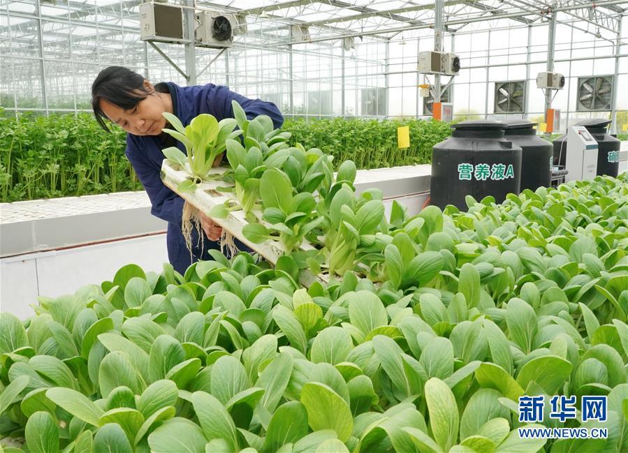 (經濟)(3)河北肅寧:發展現代農業助力鄉村振興