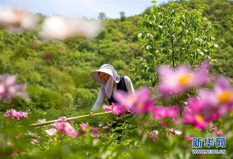 """(經濟)(1)河北武安:""""花經濟""""助農增收"""