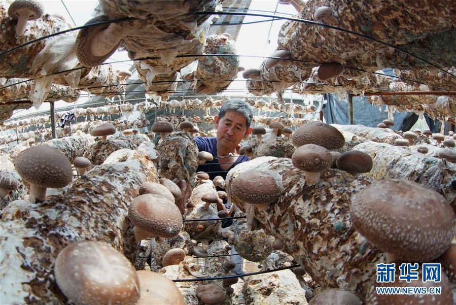(經濟)(1)河北青龍:食用菌産業助脫貧