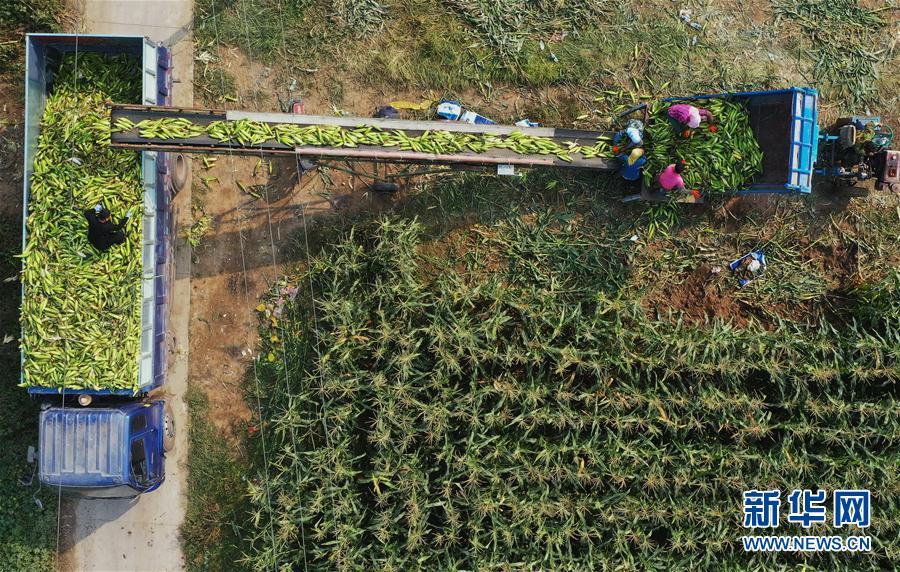 (經濟)(1)河北曹妃甸:訂單甜玉米助增收