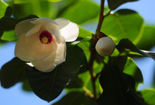 宽城都山风景区被誉为植物活化石的天女木兰花