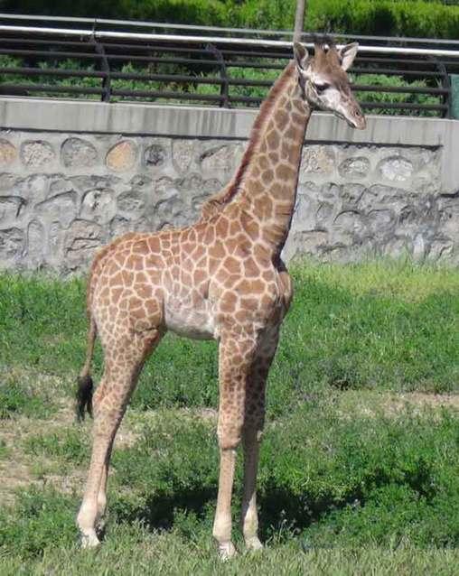石家庄市动物园开展长颈鹿宝宝征名活动