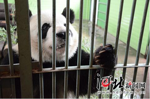 到石家庄动物园给大熊猫做月饼吧